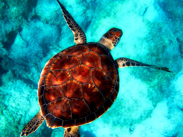 Life Release Turtle